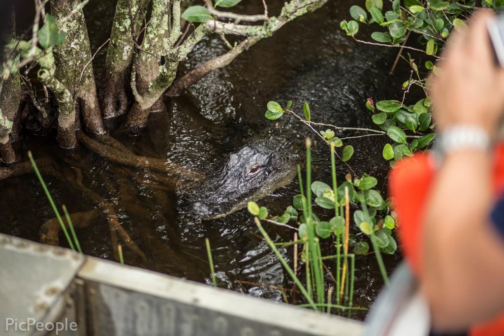 detta är en alligator som är 20 år gammal och den var 2 meter lång.